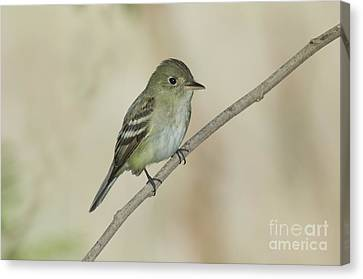 Acadian Flycatcher Canvas Print by Anthony Mercieca