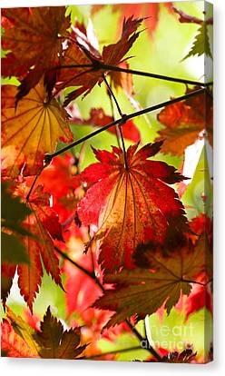 Acer Japonicum O Isami Canvas Print by Anne Gilbert