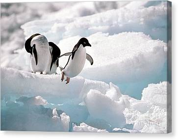 Adelie Penguins Canvas Print by Art Wolfe