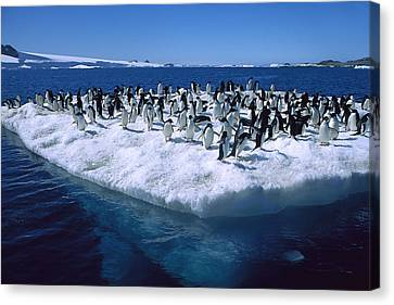 Adelie Penguins On Icefloe Antarctica Canvas Print by Colin Monteath