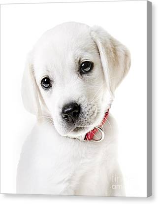 Adorable Yellow Lab Puppy Canvas Print by Diane Diederich