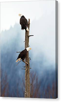 Adult Bald Eagles  Haliaeetus Canvas Print by Doug Lindstrand