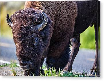 Adult Bison Staring Canvas Print by Andres Leon