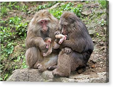 Adult Tibetan Macaques Grooming Infant. Canvas Print by Tony Camacho