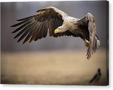 Adult White-tailed Sea Eagle In Flight Canvas Print by Neil Burton