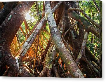 Aerial Tree Roots Canvas Print by Alex Hyde