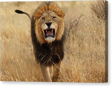 Africa, Namibia Aggressive Male Lion Canvas Print by Jaynes Gallery