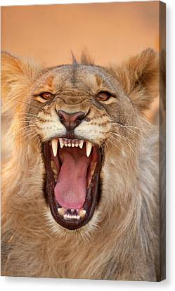 Africa, Namibia Male Lion Growling Canvas Print by Jaynes Gallery