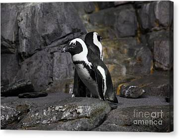 African Blackfooted Penguin 5d24860 Canvas Print by Wingsdomain Art and Photography