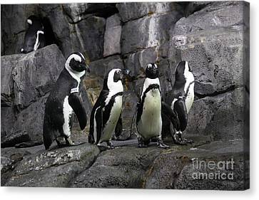 African Blackfooted Penguin 5d24863 Canvas Print by Wingsdomain Art and Photography