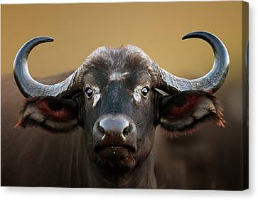 African Buffalo Cow Portrait Canvas Print by Johan Swanepoel
