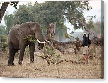 African Elephant With Tourist And Guide Canvas Print by Tony Camacho
