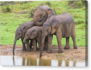 African Elephants Canvas Print by Science Photo Library