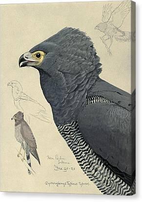 African Harrier-hawk Canvas Print by Louis Agassiz Fuertes