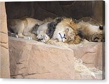 African Lion Canvas Print by Twenty Two North Photography