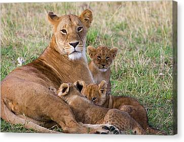 African Lioness And Young Cubs Canvas Print by Suzi Eszterhas