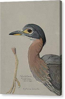 African Night Heron  Canvas Print by Louis Agassiz Fuertes