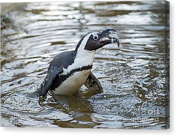 African Penguin Eating Fish Canvas Print by George Atsametakis