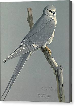 African Snow Tailed Kite Canvas Print by Louis Agassiz Fuertes