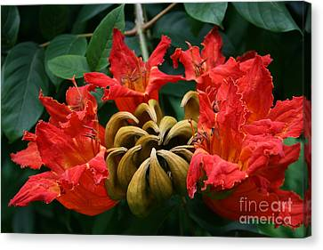 African Tulip Tree Canvas Print by Sharon Mau
