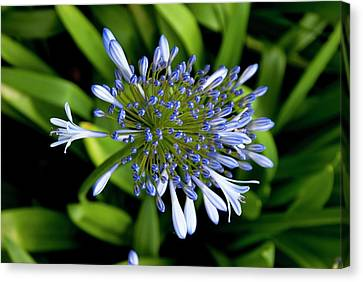 Agapanthus (african Lily) Canvas Print by Mark Williamson