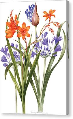 Agapanthus And Crocosmia Canvas Print by Sally Crosthwaite