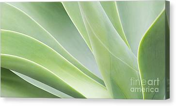 Agave Attenuata Canvas Print by Tim Gainey