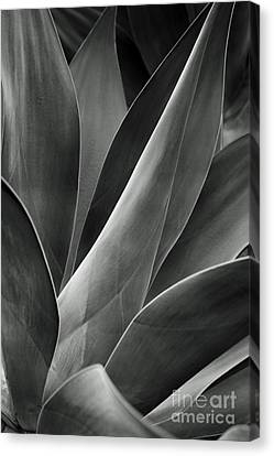 Agave In Black And White Canvas Print by Charmian Vistaunet