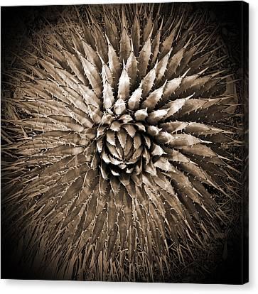 Agave Spikes Sepia Canvas Print by Alan Socolik