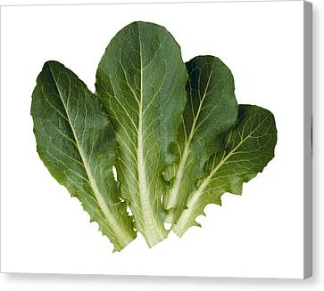 Agriculture - Baby Green Romaine Leaves Canvas Print by Ed Young