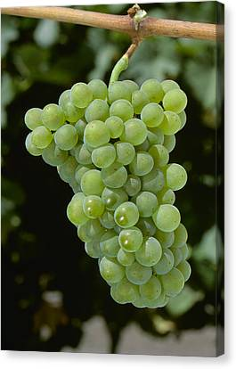 Agriculture - Mature Pinot Blanc Wine Canvas Print by Jack Clark