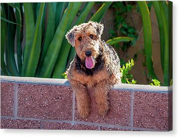 Airedale Coming Over A Wall Canvas Print by Zandria Muench Beraldo