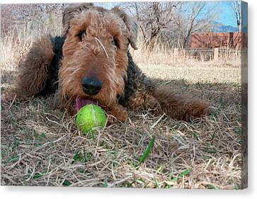 Airedale Playing Ball In Dried Grasses Canvas Print by Zandria Muench Beraldo
