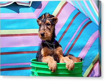 Airedale Puppies In A Green Bucket (mr Canvas Print by Zandria Muench Beraldo