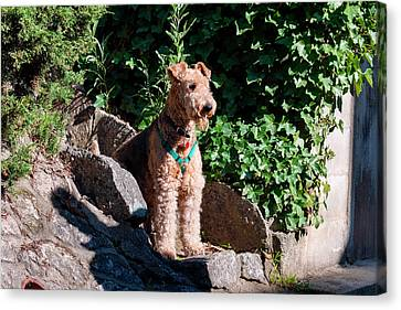Airedale Sitting On Stone Steps (mr Canvas Print by Zandria Muench Beraldo