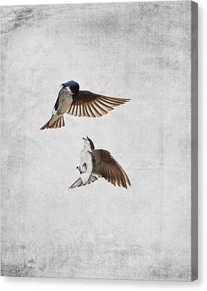 Airobatics - Tree Swallows Canvas Print by Jai Johnson