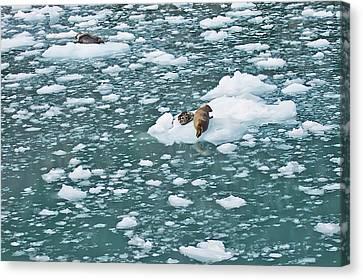 Alaska Seals Canvas Print by Aimee L Maher Photography and Art Visit ALMGallerydotcom