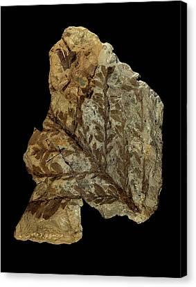Albertia Conifer Fossil Canvas Print by Gilles Mermet