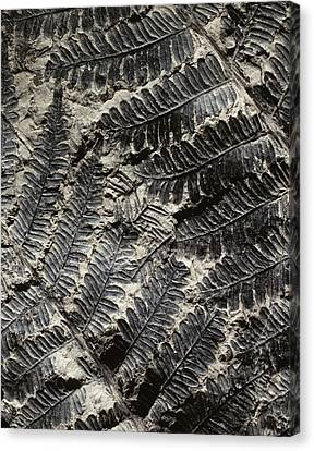 Alethopteris Seed Fern Fossil Canvas Print by Gilles Mermet
