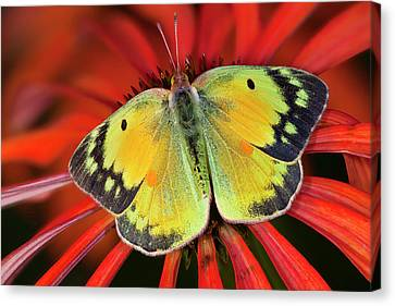 Alfalfa Butterfly On Cone Flower Canvas Print by Darrell Gulin
