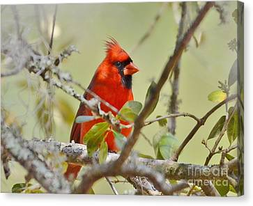 All Dressed In Red Canvas Print by Kathy Baccari
