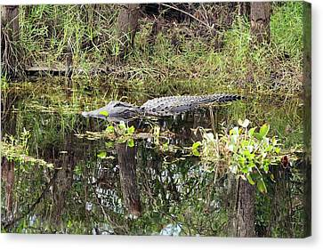 Alligator In Swamp Canvas Print by Jim West