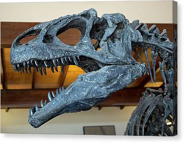 Allosaurus Dinosaur Fossil Display Canvas Print by Jim West