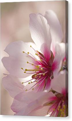 Almond (prunus Dulcis) Canvas Print by Power And Syred