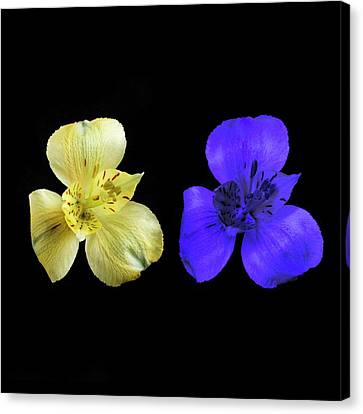 Alstroemeria Flowers In Uv And Daylight Canvas Print by Science Photo Library
