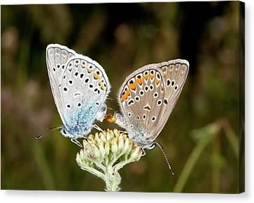 Amanda's Blue Butterflies Mating Canvas Print by Bob Gibbons