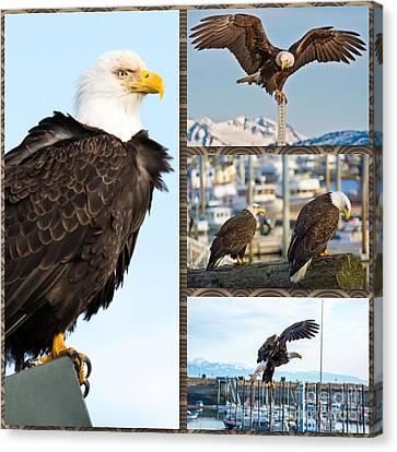 Amazing Bald Eagles Canvas Print by Debra  Miller
