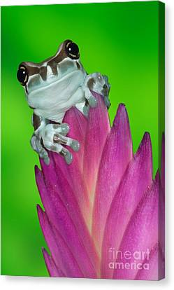 Amazon Milk Frog Trachycephalus Canvas Print by Dennis Flaherty