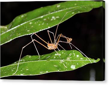 Amazonian Harvestman Canvas Print by Dr Morley Read