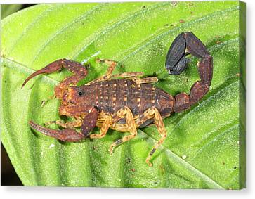 Amazonian Scorpion Canvas Print by Dr Morley Read